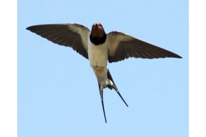 Птица ласточка фото