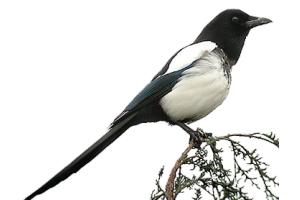 Сорока птица фото
