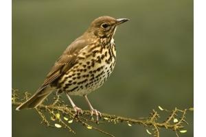 Птица дрозд фото