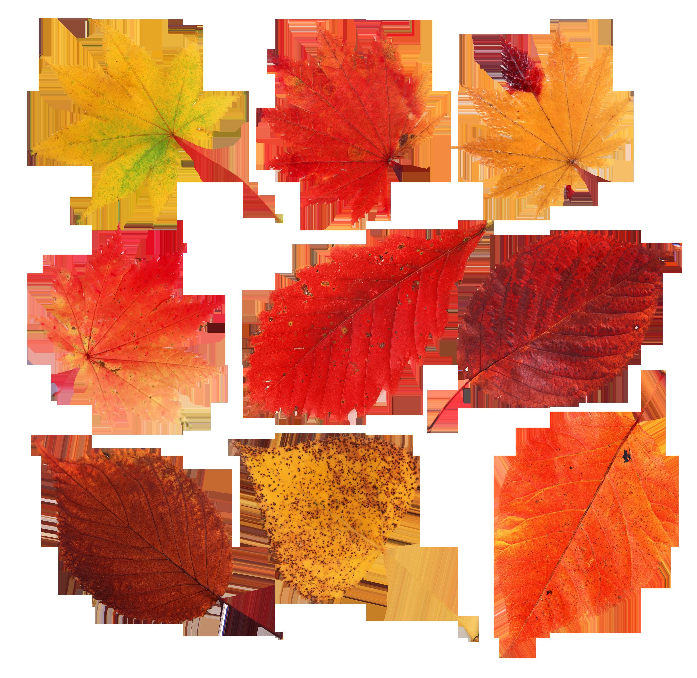 предприятие картинки осенних листьев для вырезания цветные самое интересное