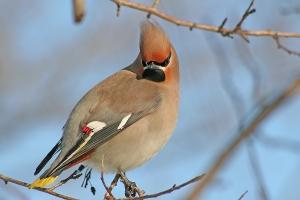 Свиристель птица фото