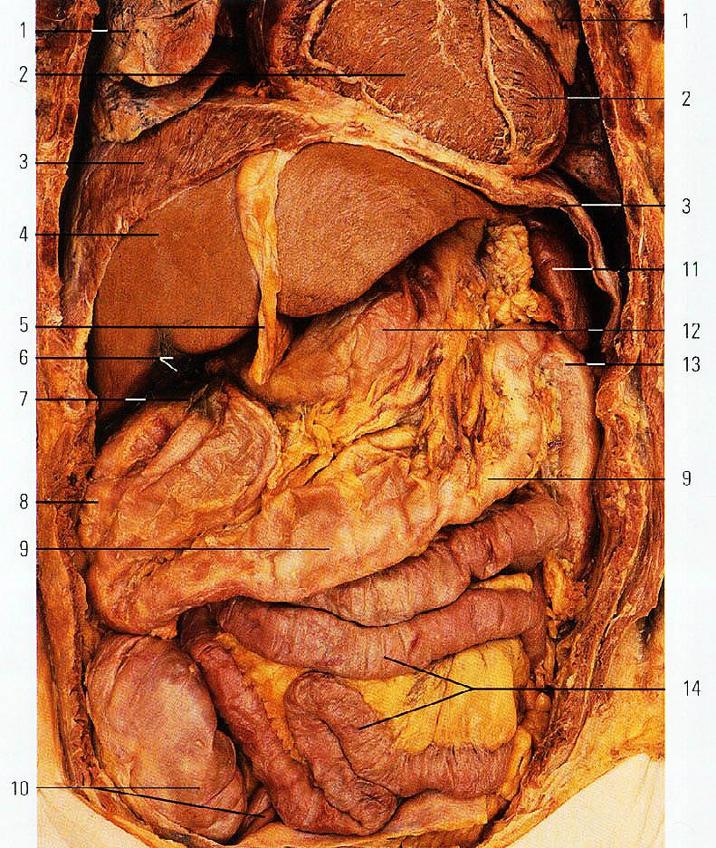 Картинка внутренние органы человека брюшная полость