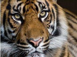 Животные тигры фото для телефона