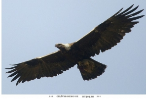 Беркут птица фото