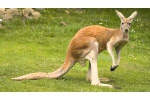 Картинки кенгуру