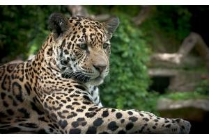 Фото ягуар животное