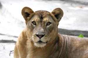 Фото льва и львицы