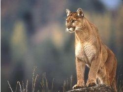 Львы, тигры фото