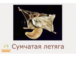 Сумчатая летяга - раскраски для детей 7