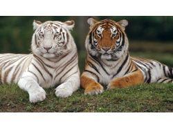 Животные тигры фото