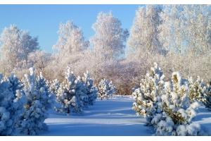 Новогодний лес картинки 7