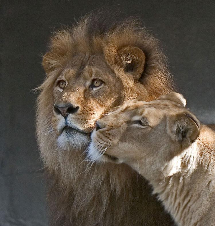 выпускной лев любит львицу картинки есть десятки баров