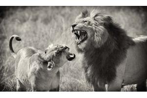 Фото лев и львица
