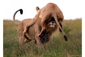 Фото лев и львица 2