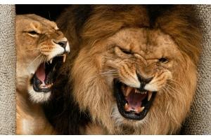 Фото лев и львица 3