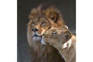 Фото лев и львица 4