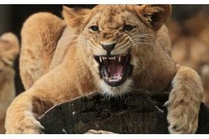 Фото лев и львица 6
