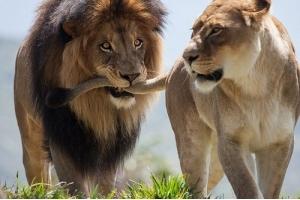 Фото лев и львица 7