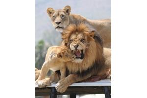 Фото лев и львица 8