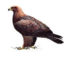 Птица беркут фото 4