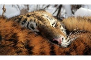 Тигрица фото 1