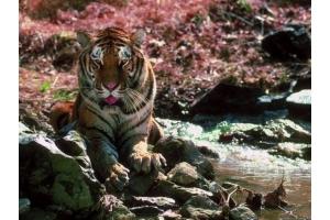 Тигрица фото 2
