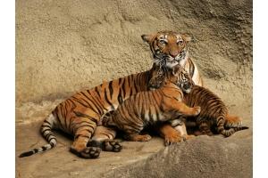 Тигрица фото 4