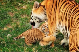 Тигрица фото 6
