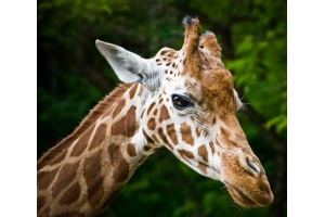 Фото жирафа смешные