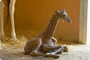 Фото жирафа смешные 2