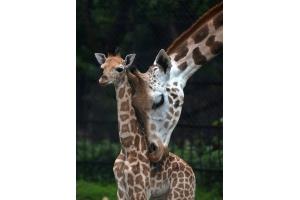 Фото жирафа смешные 4