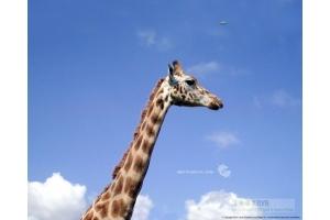 Фото жирафа смешные 5