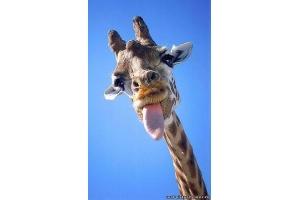Фото жирафа смешные 6