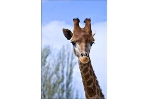 Фото жирафа смешные 7