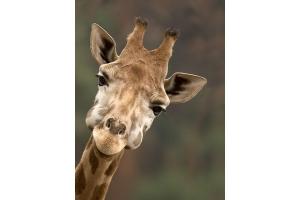 Фото жирафа смешные 8