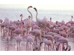 Фламинго - раскраски для детей 7
