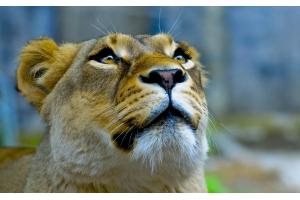 Фото львица 2