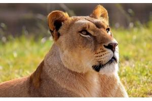 Фото львица 5