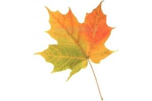 Рисунок кленовый лист 5