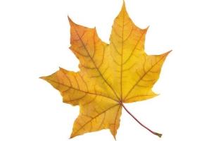 Кленовый лист шаблон 6