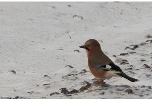 Фото птицы беларуси