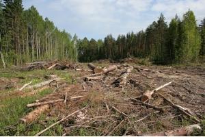 Фото вырубка лесов 2