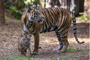Фото тигрица