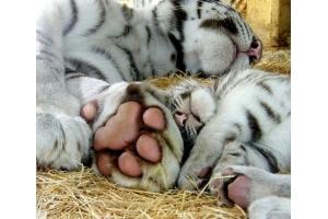 Фото тигрица 2