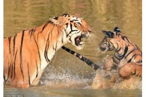 Фото тигрица 3