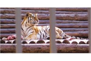 Фото тигрица 6