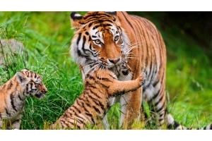 Фото тигрица 7