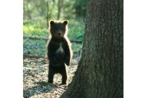 Медвежонок картинки 1