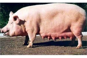 Фото свиней 1