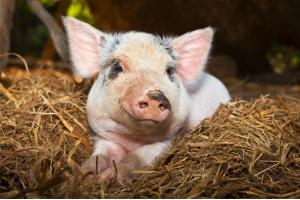 Фото свиней 2